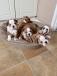 Stunning British/english Kc Registered Puppies